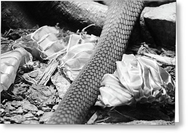 Snake Skin Black And White Greeting Card