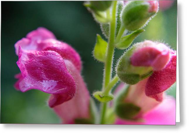 Snapdragon Hairs Greeting Card