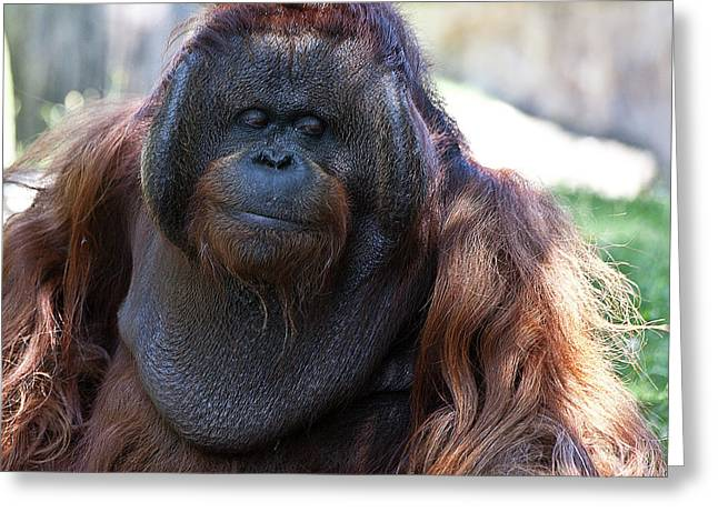 Orang-utans Greeting Cards - Sneak a Peek Greeting Card by Heiko Koehrer-Wagner