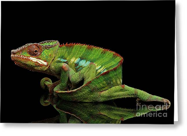 Sneaking Panther Chameleon, Reptile With Colorful Body On Black Mirror, Isolated Background Greeting Card by Sergey Taran