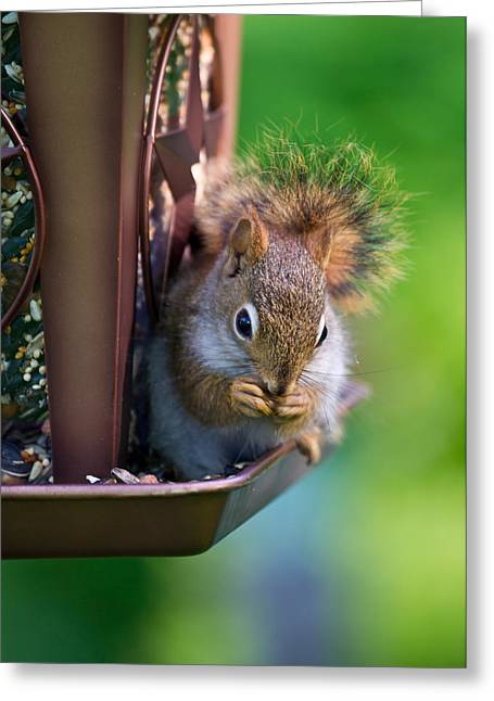 Sneaky Red Squirrel Greeting Card by Edward Myers