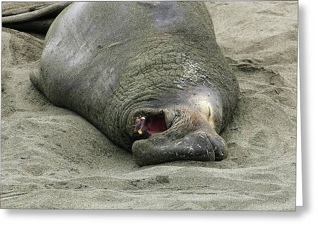 Snoring Elephant Seal Greeting Card