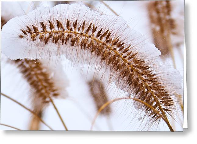 Snow Capped Foxtail Greeting Card