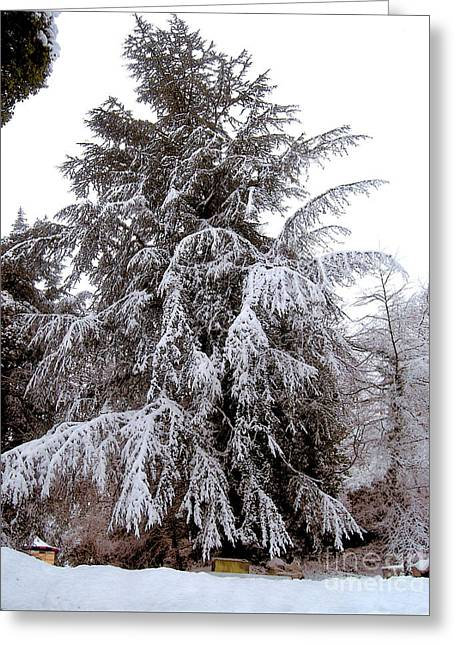 Snow Covered Evergreen Tree  Greeting Card