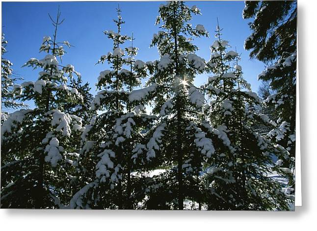 Meditative Greeting Cards - Snow-covered pine trees Greeting Card by Taylor S. Kennedy