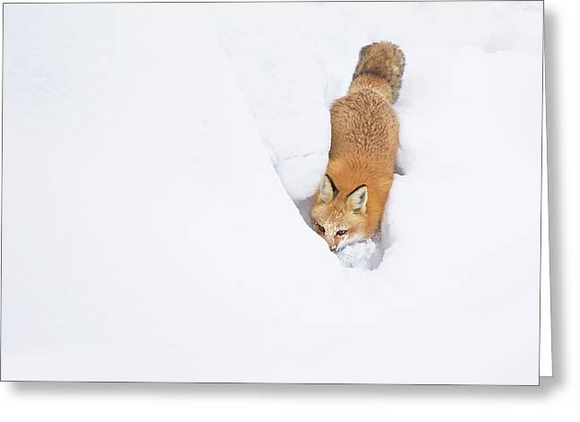 Snow-diving Fox  Greeting Card by Mircea Costina Photography