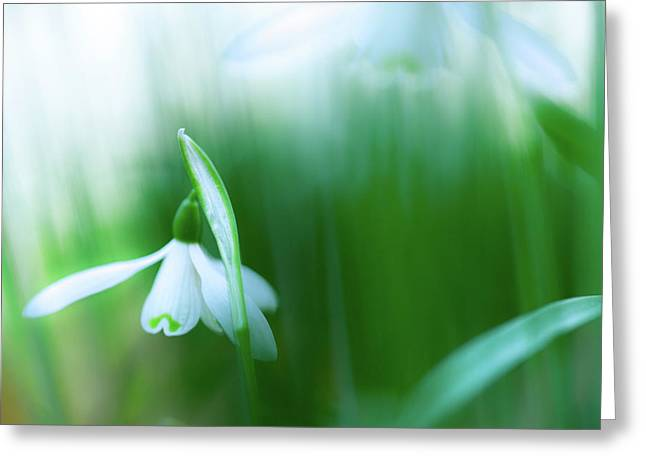 Snow Drops Early Spring White Wild Flower Greeting Card by Dirk Ercken