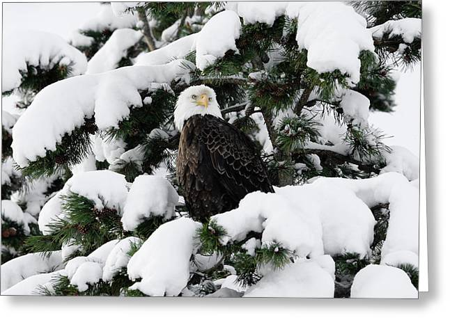 Greeting Card featuring the photograph Snow Eagle by Ronnie and Frances Howard