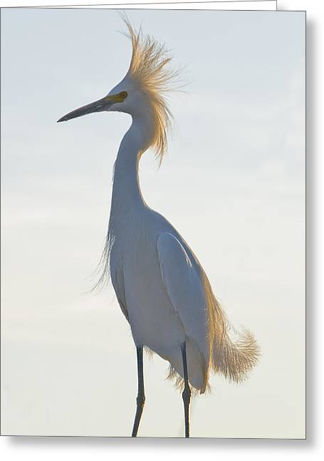 Snow Egret 1 Greeting Card by Robert OP Parrish