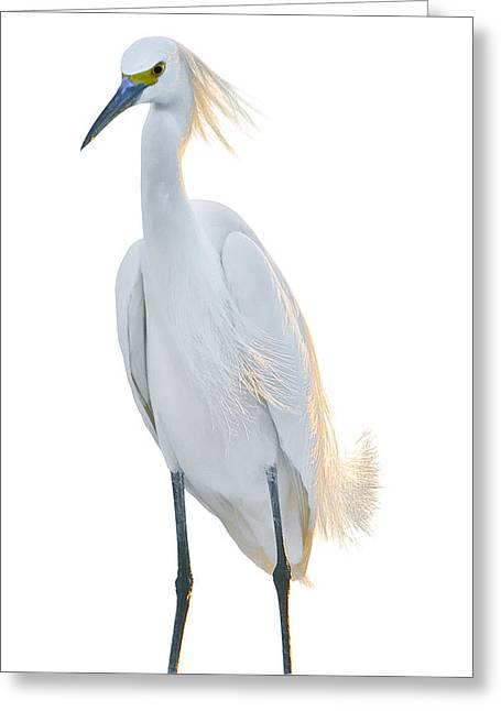 Snow Egret 2 Greeting Card by Robert OP Parrish