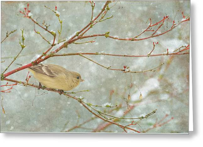 Snow Finch Greeting Card by Angie Vogel