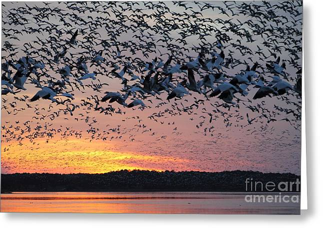 Snow Geese At Sunset Greeting Card