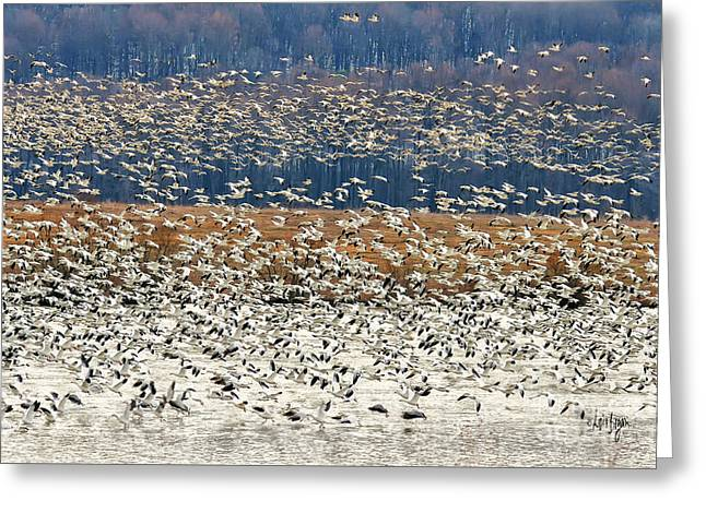 Snow Geese At Willow Point Greeting Card