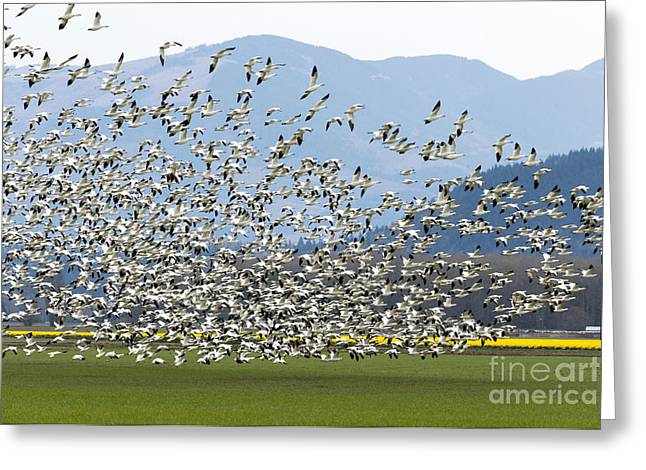 Snow Geese Exodus Greeting Card by Mike Dawson
