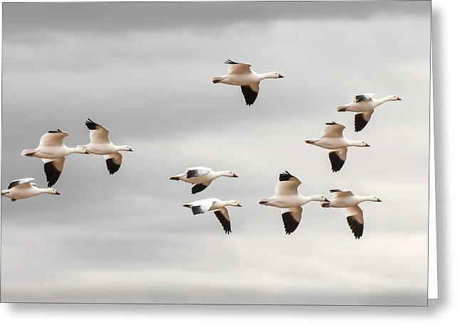 Snow Geese Flight Greeting Card