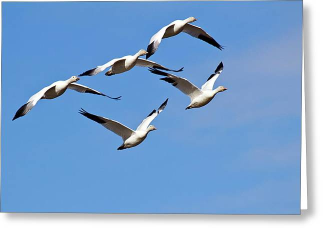 Greeting Card featuring the photograph Snow Geese Flormation by Elvira Butler