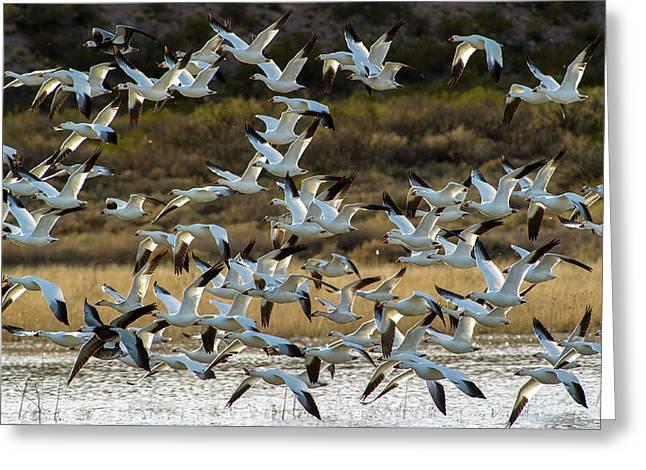 Snow Geese Flock In Flight Greeting Card