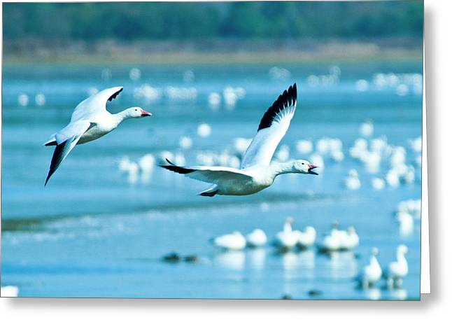 Snow Geese Greeting Card by Jerry Weinstein
