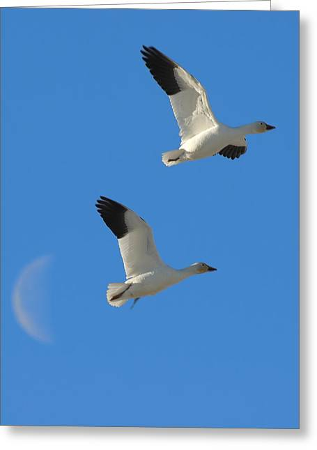 Snow Geese Moon Greeting Card