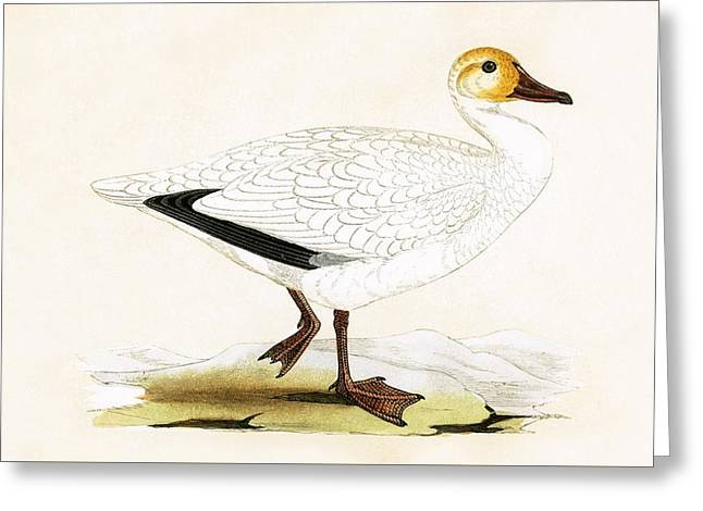 Snow Goose Greeting Card by English School
