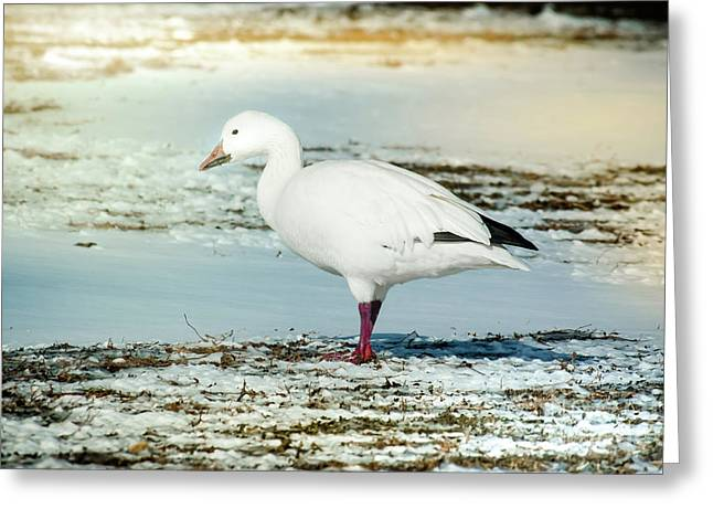 Snow Goose - Frozen Field Greeting Card