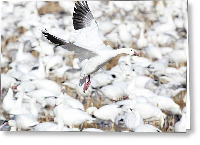 Snow Goose Lift-off Greeting Card