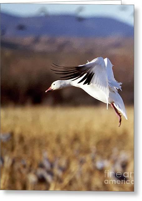 Snow Goose Greeting Card by Steven Ralser