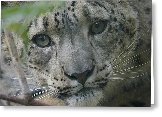 Snow Leopard 10 Greeting Card