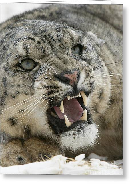 Snow Leopard Growling Greeting Card by Jean-Louis Klein & Marie-Luce Hubert