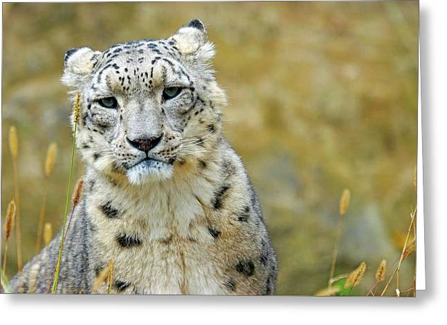 Snow Leopard Greeting Card by Marcel Langthim