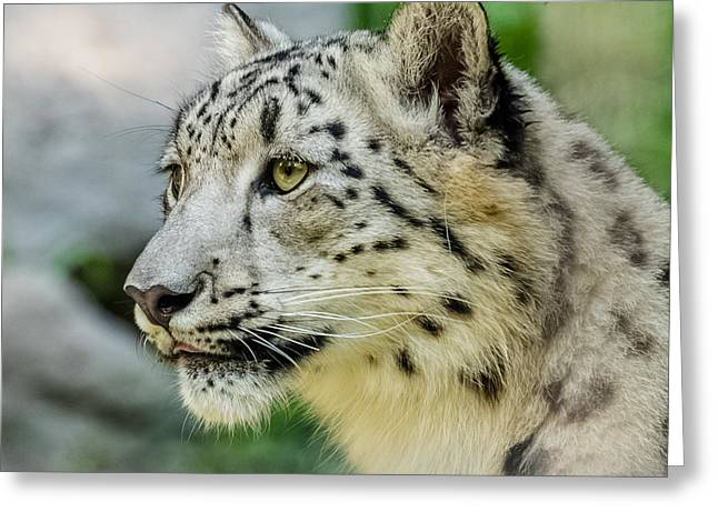 Snow Leopard Portrait Greeting Card by Yeates Photography