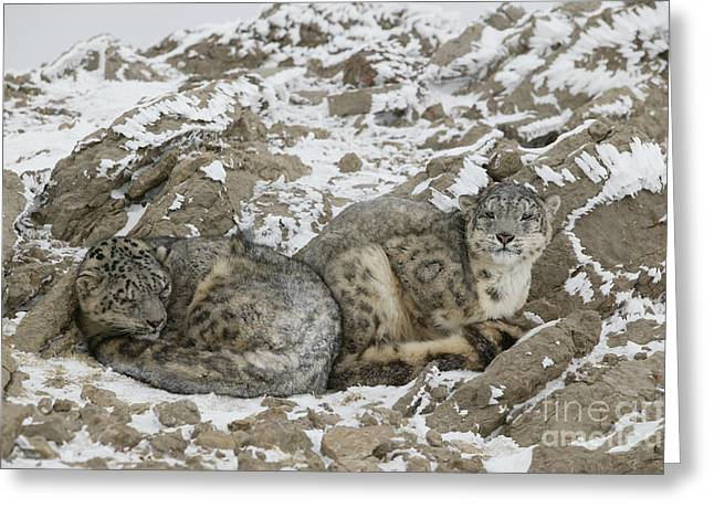 Snow Leopards Greeting Card by Jean-Louis Klein & Marie-Luce Hubert
