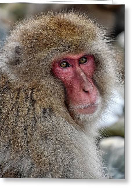 Snow Monkey Greeting Card
