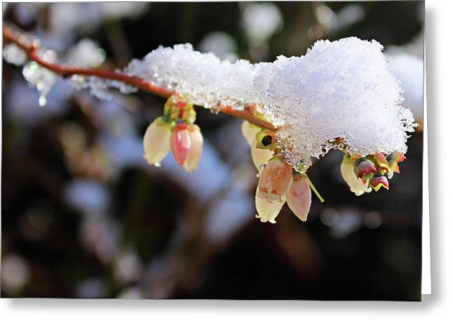 Snow On Blueberry Blossoms Greeting Card by Kristin Elmquist