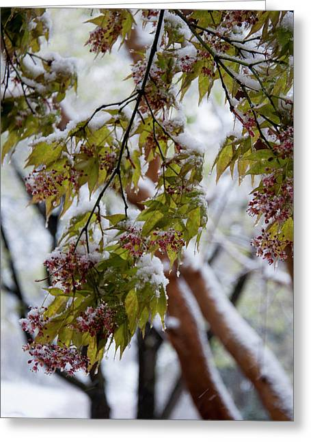 snow on the Cherry blossoms Greeting Card by Chris Flees