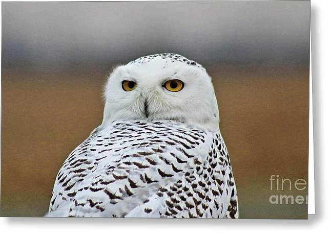 Snow Owl Strare Greeting Card