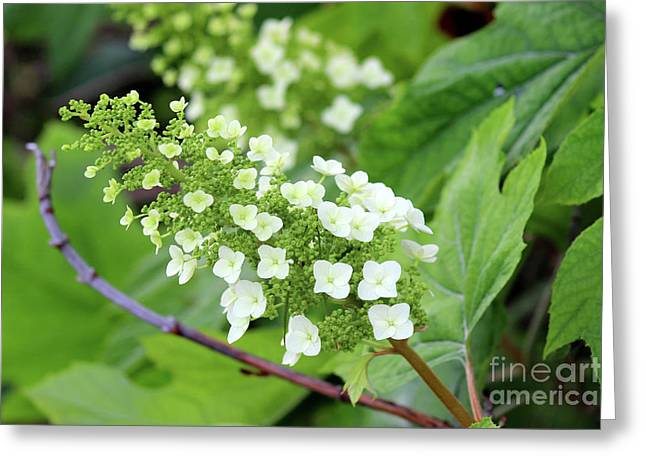 Snow Queen Hydrangea Greeting Card