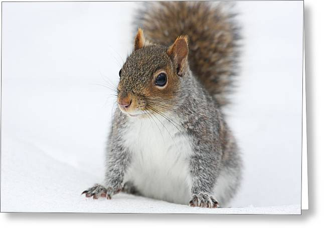 Snow Squirrel Greeting Card by Karol Livote