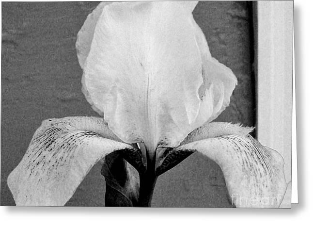 Snow White Iris Greeting Card by Marsha Heiken