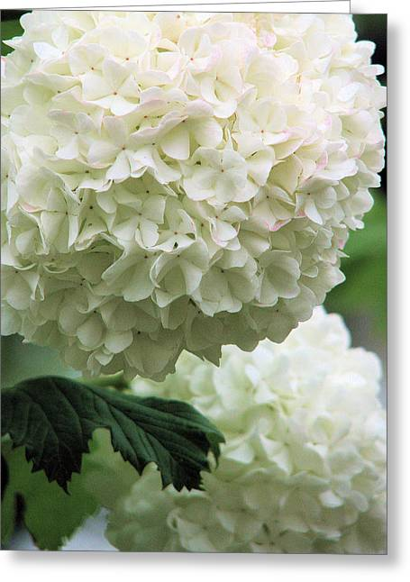 Snowball White Greeting Card