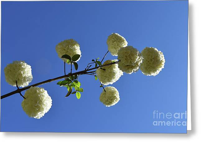 Greeting Card featuring the photograph Snowballs On A Stick by Skip Willits