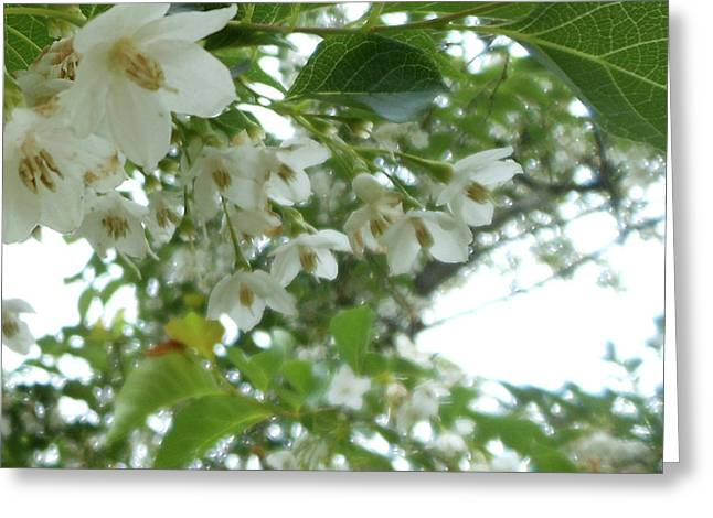Snowbell Sparkles In Spring Greeting Card