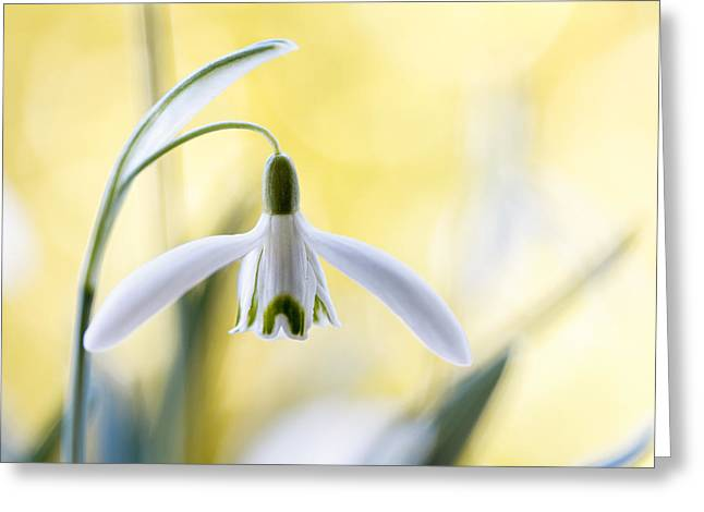 Snowdrops Greeting Card by Mandy Disher