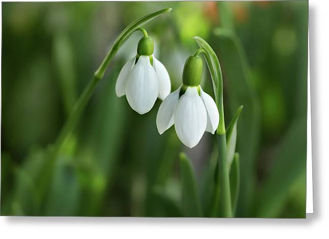 Greeting Card featuring the photograph Snowdrops by Mary Jo Allen