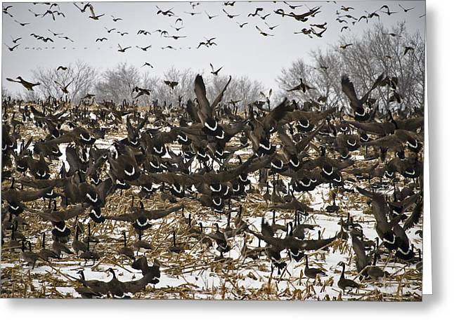 Snowgeese Galore Greeting Card by Susan Yates