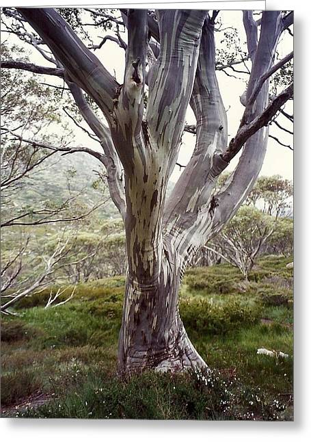 Snowgum Like Whirling Dervish Greeting Card by Adrianne Wood