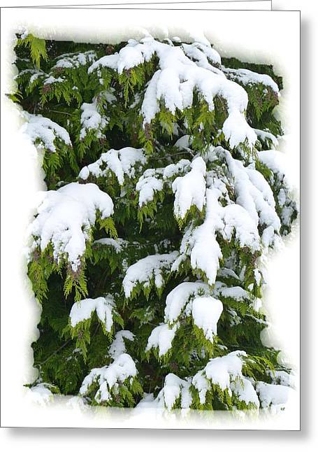 Greeting Card featuring the photograph Snowy Cedar Boughs by Will Borden