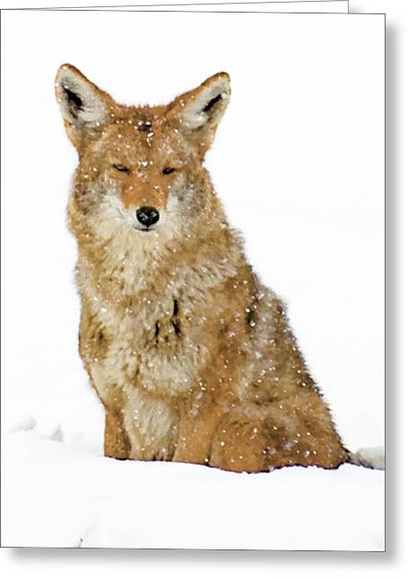 Snowy Coyote Greeting Card