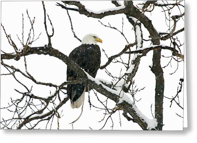 Snowy Eagle Greeting Card by Dave Clark