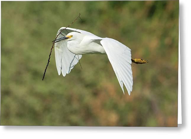 Snowy Egret 4786-091017-1cr Greeting Card